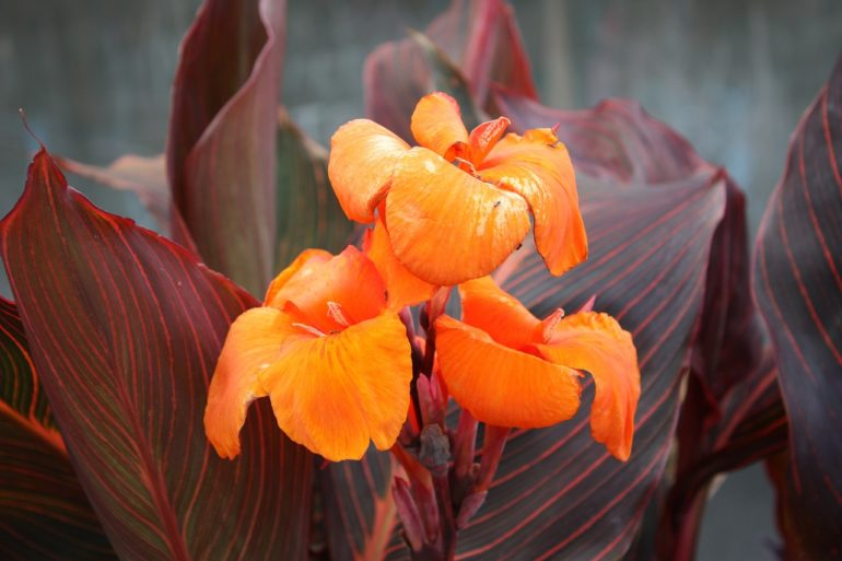 Canna flower given to fathers in Thailand