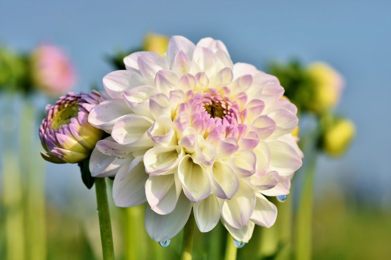 water dahlias